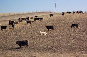 a herd of cows in nebraska poster