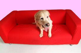 Dog And Sofa
