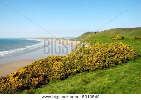 Gorse In The Gower
