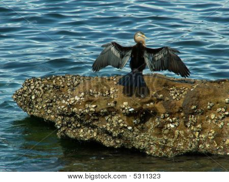 Cormorant With Spread Wings On A Rock poster