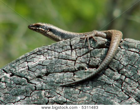 Monitor Lizard On A Branch Of A Tree poster
