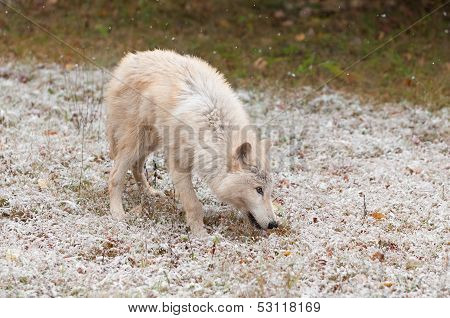Blonde Wolf (Canis lupus) in Light Early Snowfall - captive animal poster