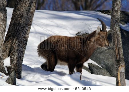 Alpine Ibex on a Winter day in the snow poster