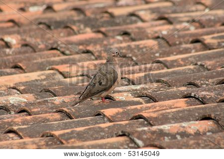 Dove on a Shingled Roof