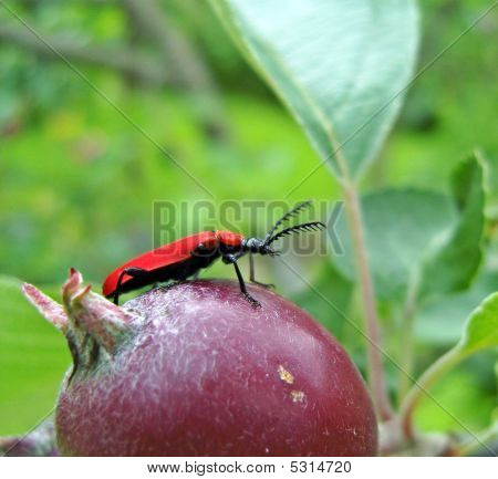 Red bug sitting on apple. Insects life. poster