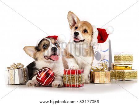 puppies  corgi wearing a Santa hat