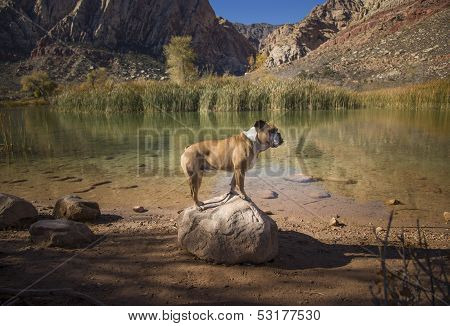 Bulldog standing on a rock at a pond
