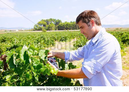 Winemaker oenologist checking bobal wine grapes ready for harvest in Mediterranean poster