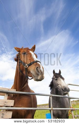 Brown and gray Irish horses behind gate