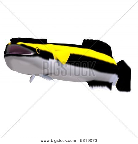 Remora Fish