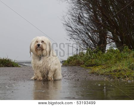 Dog Standing In The Rain