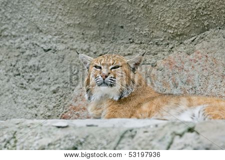 Lynx in Moscow zoo