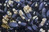 Live mussels bed in intertidal zone background. poster