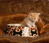 kitten sitting in a pet food dish - four weeks old poster