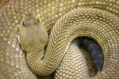 A mexican west-coast rattlesnake - Crotalus Basiliscus poster