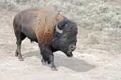 Large male buffalo at dust wallow in Yellowstone National Park in Wyoming. poster