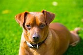 Mini pinscher brown little dog portrait lying in lawn relaxed poster