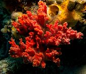 a red sponge with a commensal brittle star poster