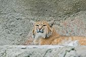 Beutiful lynx in Moscow Zoo. Summer 2013 poster