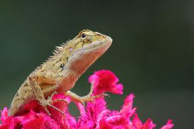 Red Lizard In Nature