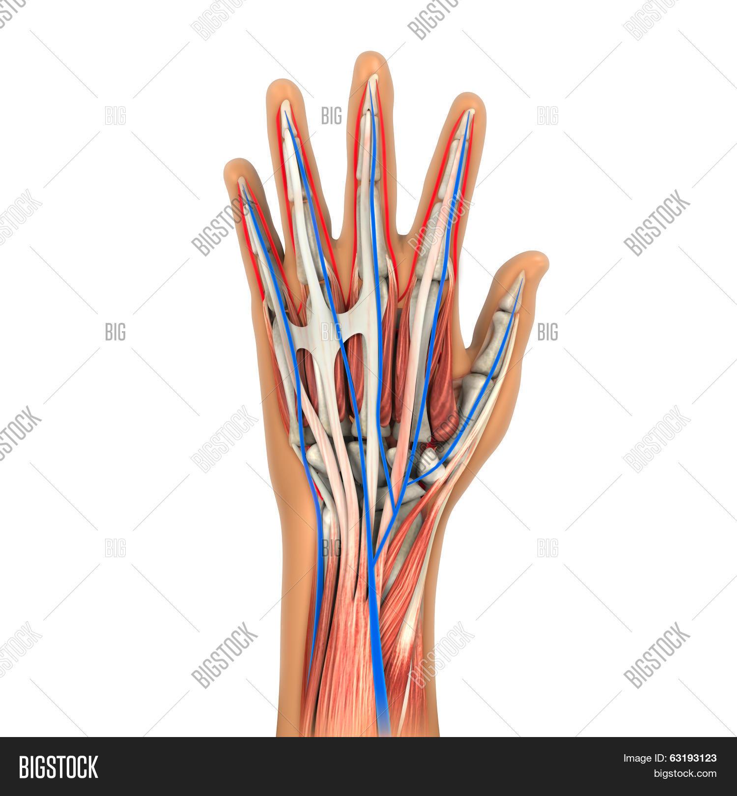 Human Hand Anatomy Image & Photo (Free Trial)   Bigstock