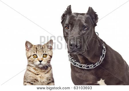 Portrait of a Staffordshire terrier and kitten Scottish Straight isolated on white background poster