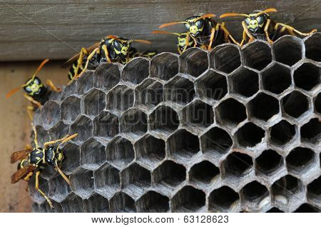 Nest with wasps