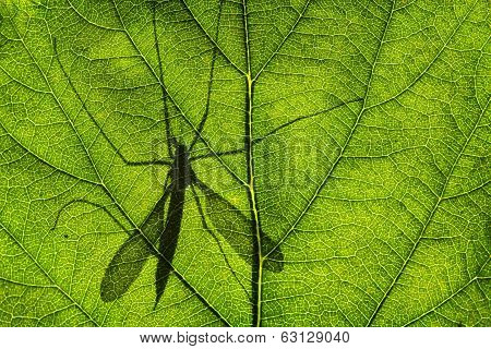 Shadow of Cranefly or daddy-long-legs on green leaf poster
