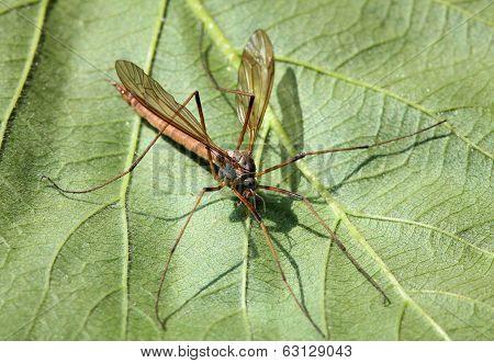 A Cranefly or daddy-long-legs sit on green leaf