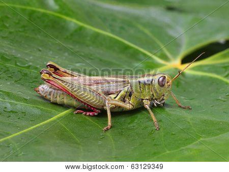 Grasshopper perching on green leaf