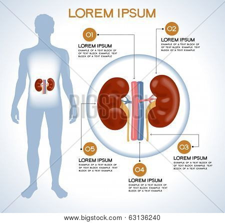 Kidneys. Modern medical infographics. Internal organs in a human body. Anatomy of people poster