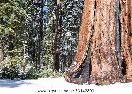 Land Of Giant Sequoias