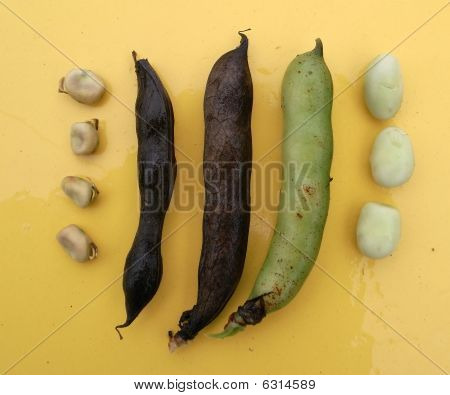 Winter Beans And Pods