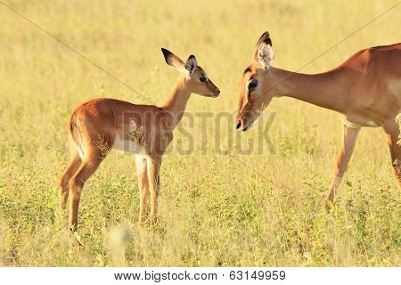 Impala Mother - Wildlife Background from Africa - Adornment of Animal Baby