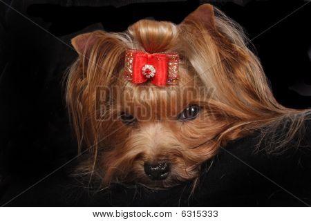On photo Yorkshire Terrier Portrait on black background. poster