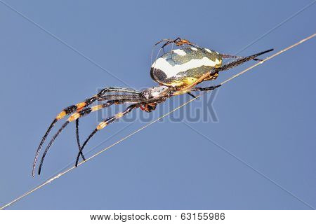 Golden Orb Web Weaver Spider - Insect and Baby Animal Background from Africa