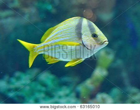 Porkfish fish from grants in saltwater aquarium poster