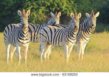 Zebra Background - Wildlife from Africa - Stripes of Intense Stare