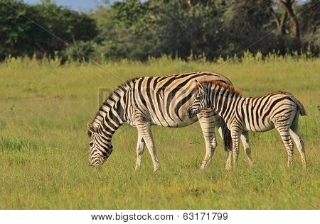 Zebra - Wildlife Background from Africa - Animal Moms and Babies