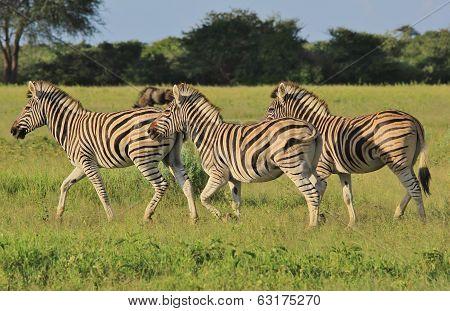 Zebra - Wildlife Background from Africa - Running Stripes