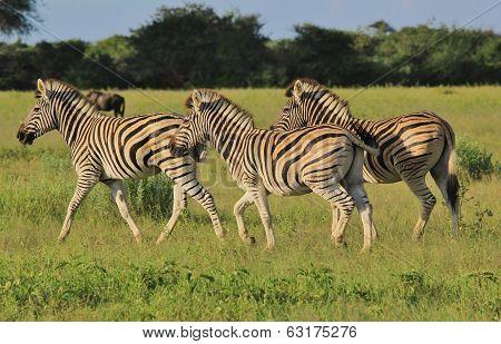 Zebra - Wildlife Background from Africa - Run of Three