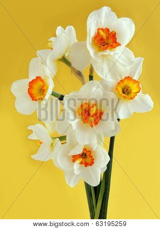 daffodils on yellow background