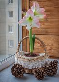 Pink hippeastrum next to fir-cone on o the window poster