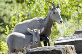 A watchful young big horn sheep with her mother. poster