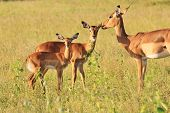 A Common Impala ewe and her two lambs of the last two years, as photographed in the complete wilds of Africa. poster