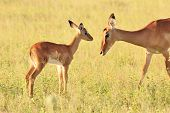 A Common Impala ewe and her lamb, as photographed in the complete wilds of Africa. poster