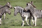 Burchell zebras playing in the field South Africa poster