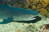 Close-up of a White-tip Reef Shark (Triaenodon Obesus) Lying On the Bottom Caсo Island Costa Rica poster