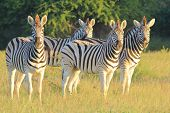 A herd of Burchell's Zebra stare into the lens, as photographed in the wilds of Africa. poster