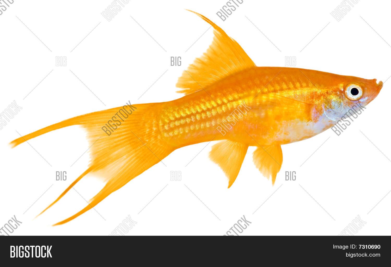 Swordtail Fish Image Photo Free Trial Bigstock